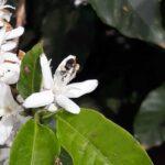 Abelha operária do gênero Scaptotrigona na flor de café arábica (Coffea arabica), São Sebastião do Paraíso-MG, Outubro-2019-10
