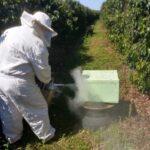 Auditoria de colônia de abelhas da espécie Apis mellifera L. instalada em lavoura de café arábica (Coffea arabica), Divisa Nova-MG, Agosto-2019-7