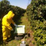 Auditoria de colônia de abelhas da espécie Apis mellifera L. instalada em lavoura de café arábica (Coffea arabica), Divisa Nova-MG, Agosto-2019-8