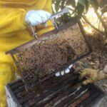 Auditoria em quadro de cria de colônia de abelhas da espécie Apis mellifera L. instalada em lavoura de abacate (Persea americana), Monte Carmelo:MG, Agosto:2020