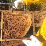 Auditoria em quadro de cria de colônia de abelhas da espécie Apis mellifera L. instalada em lavoura de abacate (Persea americana), Monte Carmelo:MG, Agosto:2020-2