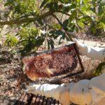 Auditoria em quadro de cria de colônia de abelhas da espécie Apis mellifera L. instalada em lavoura de abacate (Persea americana), Monte Carmelo:MG, Agosto:2020-4