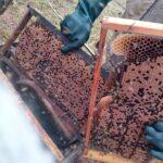 Auditoria em quadros de cria de colônia de abelhas da espécie Apis mellifera L. instalada em lavoura de abacate (Persea americana), Monte Carmelo:MG, Agosto:2020-7