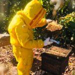 Auditoria feita pela equipe técnica Agrobee em colônia de abelhas da espécie Apis mellifera L. instalada em lavoura de abacate (Persea americana), Monte Carmelo:MG, Agosto:2020