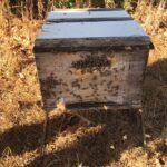 Colônia de abelhas da espécie Apis mellifera L. instalada em lavoura de abacate (Persea americana), Monte Carmelo:MG, Agosto:2020