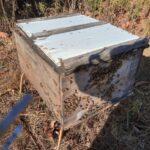 Colônia de abelhas da espécie Apis mellifera L. instalada em lavoura de abacate (Persea americana), Monte Carmelo:MG, Agosto:2020-3