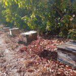 Colônias de abelhas da espécie Apis mellifera L. instalada em lavoura de abacate (Persea americana), Monte Carmelo:MG, Agosto:2020 - 5
