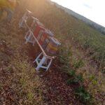 Colônias de abelhas do gênero Scaptotrigona instaladas em lavoura de café arábica (Coffea arabica) para o Serviço de Polinização Agrobee, Pedregulho-SP, Outubro-2020-4