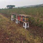 Colônias de abelhas do gênero Scaptotrigona instaladas em lavoura de café arábica (Coffea arabica) para o Serviço de Polinização Agrobee, Pedregulho-SP, Outubro-2020-7