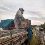 Descarregamento de colônias Colônias de abelhas da espécie Apis mellifera L. em lavoura de abacate (Persea americana), Monte Carmelo:MG, Agosto:2020-6