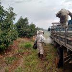 Descarregamento de colônias Colônias de abelhas da espécie Apis mellifera L. em lavoura de abacate (Persea americana), Monte Carmelo:MG, Agosto:2020-8
