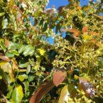 Flor do abacateiro (Persea americana), Monte Carmelo:MG, Agosto:2020