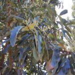 Flor do abacateiro (Persea americana), Monte Carmelo:MG, Agosto:2020-2