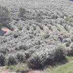 Florada café arábica (Coffea arabica), Monte Santo de Minas-MG, Setembro-2019