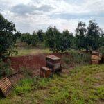 Instalação de colônias de abelhas da espécie Apis mellifera L. em lavoura de abacate (Persea americana) para o Serviço de Polinização, Monte Carmelo:MG, Agosto:2020-10