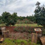 Instalação de colônias de abelhas da espécie Apis mellifera L. em lavoura de abacate (Persea americana) para o Serviço de Polinização, Monte Carmelo:MG, Agosto:2020-9